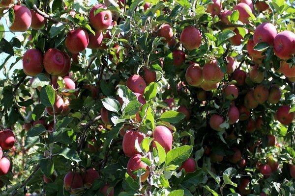 تورم تولیدکننده باغداری و دامداری 46 درصد افزایش یافت