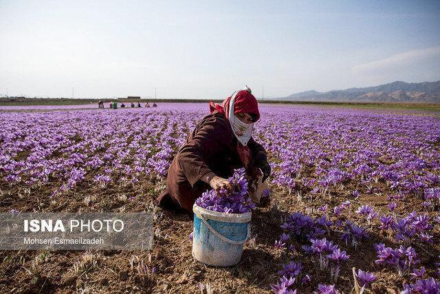 معامله زعفران و زیره در بورس برای اولین بار در کشور